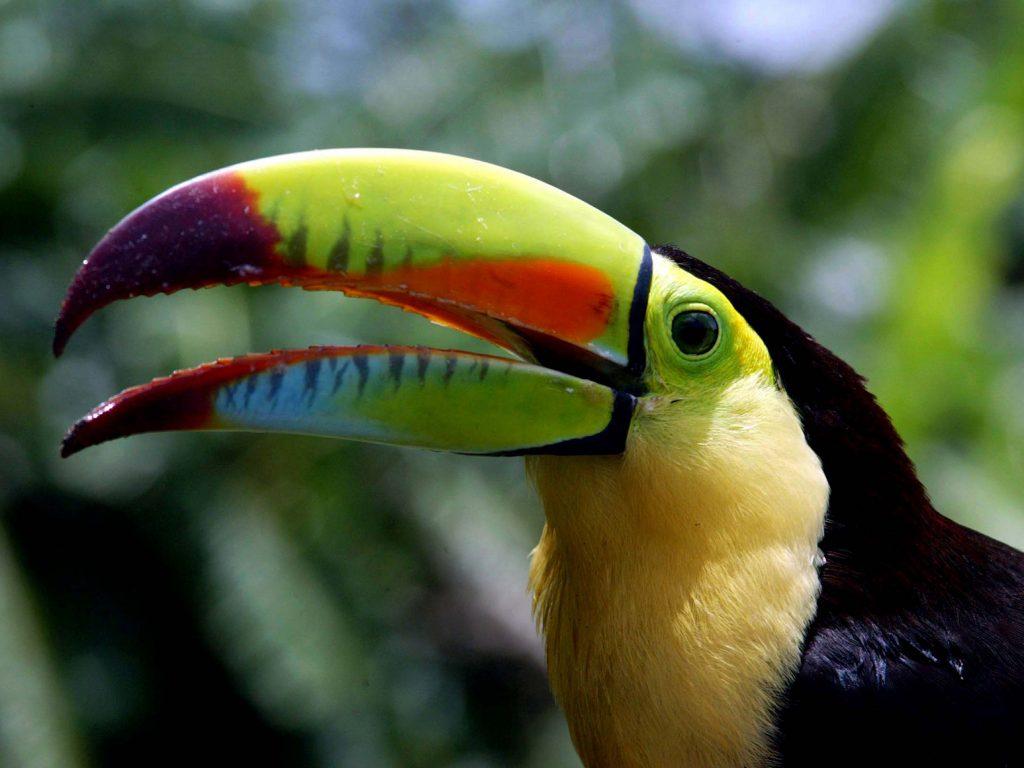 Toucan Honduras