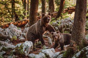 bears-slovenia